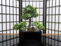 Bonsai tree for home decoration in the living room. Japanese bonsai tree for decoration of a house, living room or bedroom on a black glass table with Japanese Stock Image