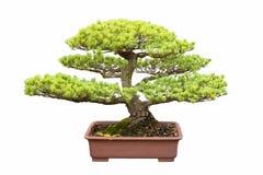 Bonsai tree of five needle pine Stock Image