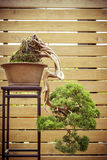 Bonsai tree in a  flower pot grows downwards. Old bonsai tree in a  flower pot grows downwards Stock Photography