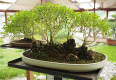 Bonsai tree forest style Stock Image