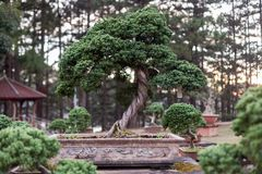 Bonsai tree in the garden. Royalty Free Stock Images