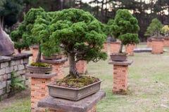 Bonsai tree in the garden. Stock Photography
