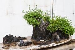 Bonsai royalty free stock image
