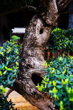 Bonsai tree in garden Royalty Free Stock Photography