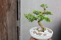 Bonsai tree in garden beautiful Stock Photo