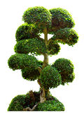 Bonsai tree in garden isolated on white Stock Photography
