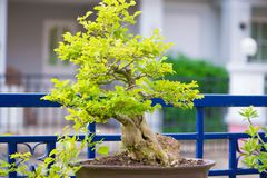 Bonsai tree in garden Royalty Free Stock Photo