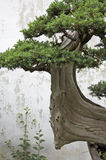 A bonsai tree in a garden in Suzhou Stock Photos