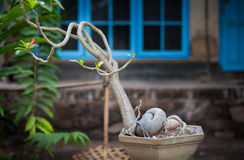 Bonsai tree. In a garden in a village in lombok, indonesia Stock Images
