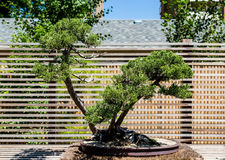 Bonsai Tree in Garden Royalty Free Stock Images