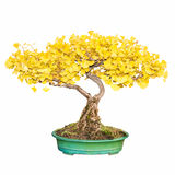 Bonsai tree of ginkgo Stock Image