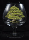 Bonsai tree in the glass Stock Images