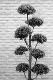 Bonsai tree in gray tone Stock Photo