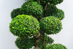 Bonsai tree with green leaves and white wall as background photo taken in Jakarta Indonesia. Java stock images