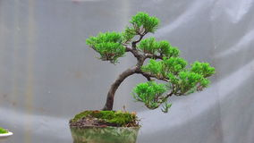 Bonsai tree grow in container. Japanese art form using trees. Slow motion zoom in camera stock video footage