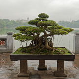 Bonsai tree in Hanoi. A bonsai tree on the jetty in Hanoi, Vietnam Royalty Free Stock Photography