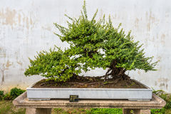 Bonsai tree in the Humble Administrator's Garden in Suzhou Stock Images