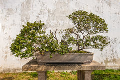 Bonsai tree in the Humble Administrator's Garden in Suzhou Stock Photo