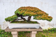 Bonsai tree in the Humble Administrator's Garden in Suzhou Royalty Free Stock Photos