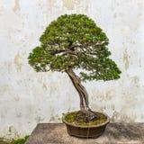 Bonsai tree in the Humble Administrator's Garden in Suzhou Royalty Free Stock Photo