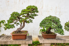 Bonsai tree in the Humble Administrator's Garden in Suzhou Royalty Free Stock Photography
