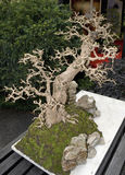 Bonsai tree indoors Royalty Free Stock Photography