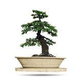 bonsai tree isolated Royalty Free Stock Image