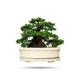 bonsai tree isolated Stock Photos