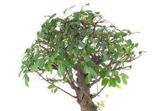Bonsai tree isolated on white Stock Image