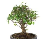 Bonsai tree isolated on white Stock Photos