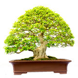 Bonsai tree isolated Stock Images