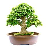 Bonsai tree isolated Royalty Free Stock Photography
