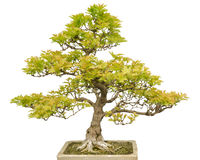 Bonsai Tree isolated on white stock images