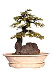Bonsai tree Isolated on white background Stock Photography