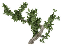 Bonsai tree isolated Royalty Free Stock Photos