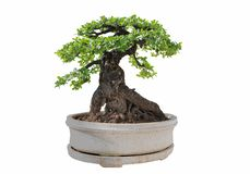 Bonsai tree isolated on white background. Its shrub is grown in. A pot or ornamental tree in the garden stock image