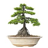 Bonsai tree isolated on white background. Its shrub is grown in a pot or ornamental tree in the garden.  stock photo