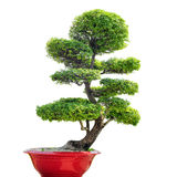 Bonsai tree isolated on white background. Traditional Japanese art of growing small plant in pot. Nature zen background Stock Photography