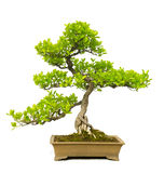 Bonsai Tree. A bonsai tree isolated on white with a little dirt left around the base of the pot Stock Images