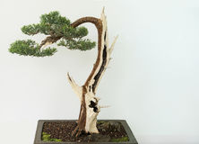 Bonsai tree. Izolated on white Stock Images