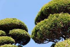 Bonsai tree in japan Stock Photo