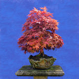 Bonsai tree  Japanese maple Stock Photos