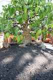 Bonsai tree in jardiniere. Royalty Free Stock Image