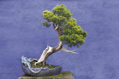 Bonsai tree Juniper China (Juniperus chinensis) Stock Images