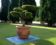 Bonsai tree in a large clay pot stock photography