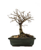 Bonsai tree without leafs Royalty Free Stock Photos