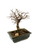 Bonsai tree without leafs Royalty Free Stock Image