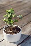 Bonsai tree in little white pot plant Stock Photos