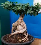 Bonsai tree that looks like a living creature, photographed in Bloemfontein, South Africa