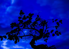 Bonsai tree at night. On a blue sky background Stock Photo
